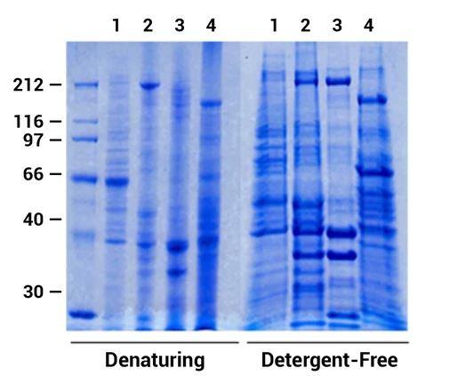 Detergent Free Exosomal Protein