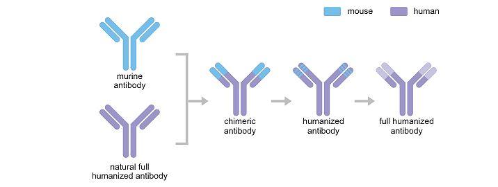 Development of Recombinant Antibody Cusabio