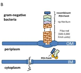 FimH-based display of functional eukaryotic proteins