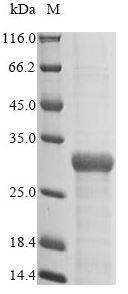fimH Antibody